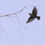 野鳥のムクドリの生態や色、寿命とは?