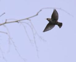 ムクドリ 野鳥 生態 色 寿命