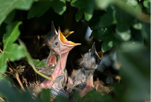 ムクドリ 雛 育て方 巣立ち