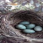 ムクドリの抱卵から孵化後について