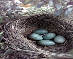 ムクドリ 抱卵 孵化