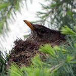 巣の撤去はいいの?ムクドリの産卵と時期