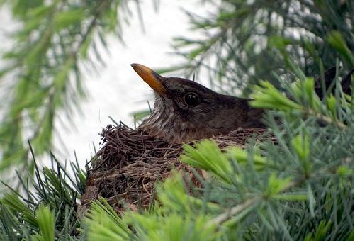 ムクドリ 産卵 時期