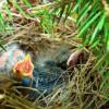 ムクドリ 雛 保護 餌 量