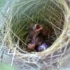 ムクドリ ヒナ 餌 野鳥