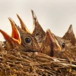 ムクドリの雛、子育て期間はどれくらい?