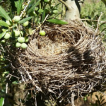 ムクドリの雛が巣立ったら巣を撤去しよう!