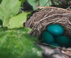 ムクドリ 卵 放置