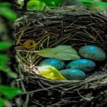 ムクドリの産卵!時期と卵の数は?