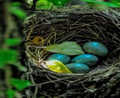 ムクドリ 卵 時期 数