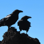 鳥同士の戦い!カラスはムクドリをも食べる