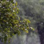 雨の日の過ごし方・ムクドリはどこにいる?